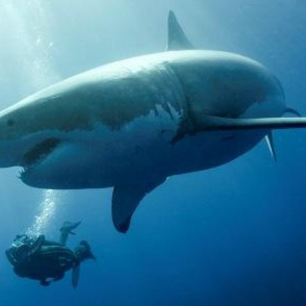 Les requins sont en dangers, ensemble, préservons les !