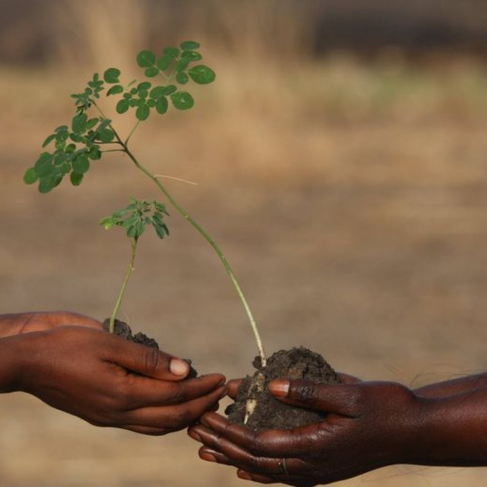 Moringa : arbre de vie