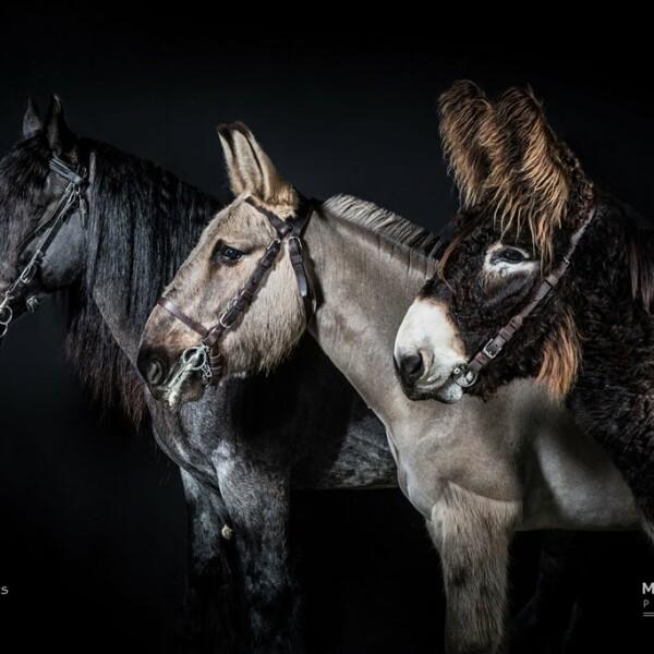 Baudet du Poitou et cheval de Trait poitevin