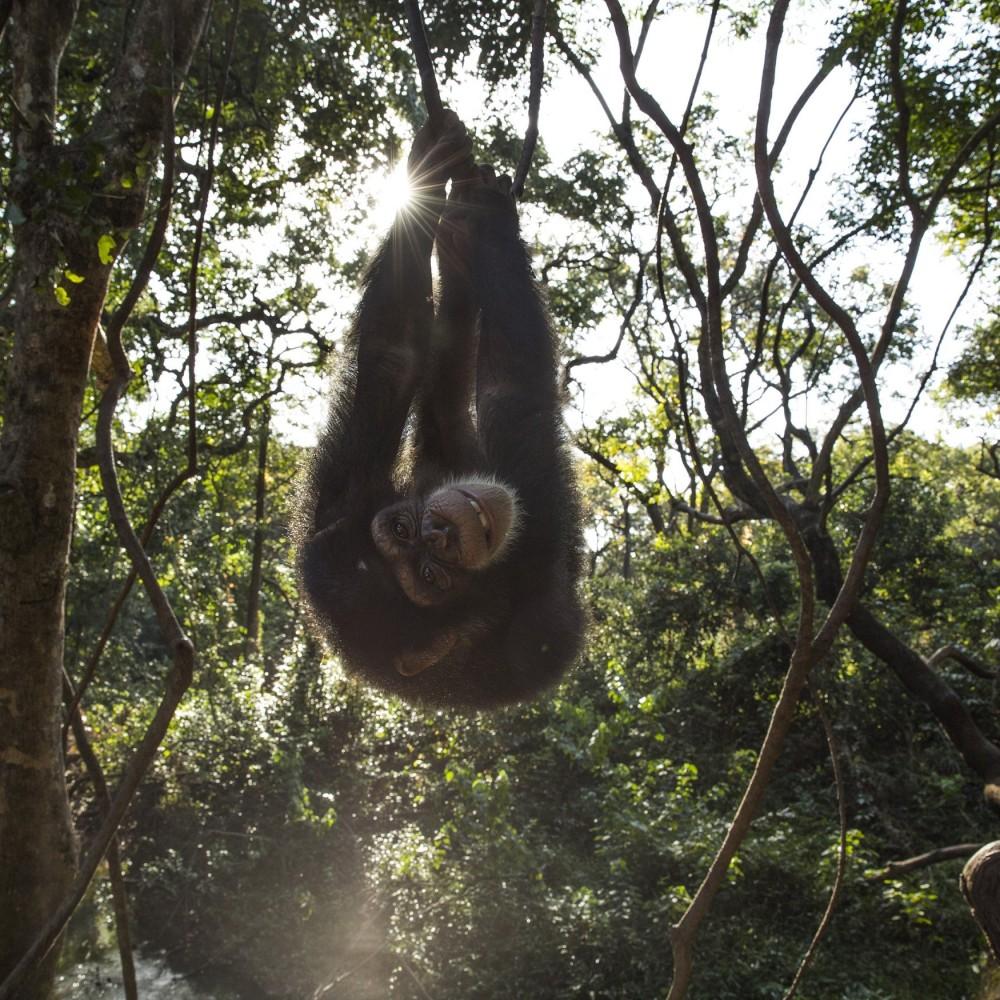 Centre de Conservation pour Chimpanzés